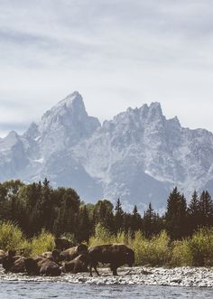 Buffalo in Grand Teton National Park. Photo: Scott Cochran