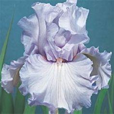 Silverado German Iris