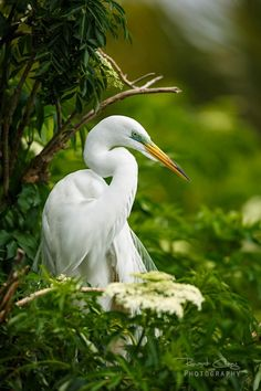 _A~~~Great egret (Ardea alba),(Αργυροτσικνιάς )great white egret or great white heron also known as the common egret, large egret All Birds, Love Birds, Beautiful Birds, Exotic Birds, Colorful Birds, White Egret, Shorebirds, Big Bird, Bird Watching