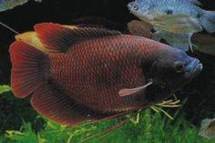 red Giant Gourami | 學名:Osphronemus laticlavius