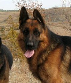 German Shepherd - Black/Red