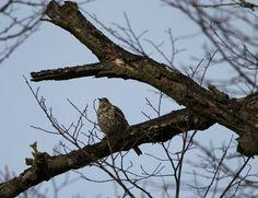 Mistle Thrush, Birdwatching, Bald Eagle, Owl, Animals, Animales, Animaux, Owls, Animais
