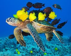 This is a beautiful mutualistic relationship between sea turtles and yellow tangs. The yellow tangs get algae meals and protection. Where the sea turtle gets a clean shell!