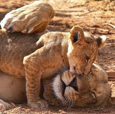 Mom and her beautiful lion cub :) I Love Cats, Big Cats, Cats And Kittens, Cute Cats, Lion Pictures, Animal Pictures, Beautiful Cats, Animals Beautiful, Cute Baby Animals