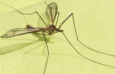 How To Put Mosquitos Away From Your Body #Health #Fitness #Trusper #Tip