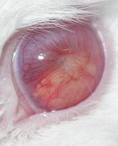 True albinism is a total lack of pigment, even in the eyes. The pink color you see is actually the blood vessels. The pupil is devoid of color.