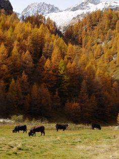 Les vaches - Valais