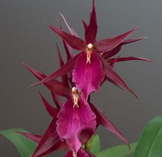 Miltassia Darth Vader - The orchid flowers change color depending on the light intensity surrounding the flowers.. the light center contrasts beautifully with the dark petals..
