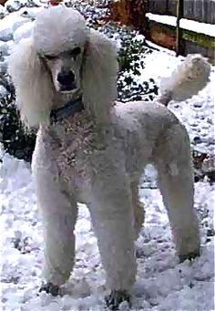 "White Standard Poodle ""Sparkle"""