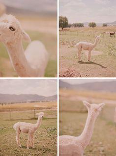 let's just be honest. Alpacas are CUTE!