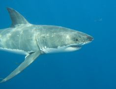 Since sharks give birth to pups, and a few species lay eggs, the common consensus is that sharks are mammals.  Across the board, though, 70% of all sharks give birth, while the remaining 30% lay eggs. Sharks are actually fish, which is sure to be a surprise to many.