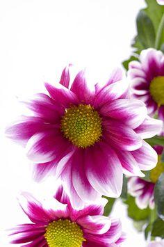 Krysanteemi hoito. Selkeät krysanteemin hoito-ohjeet ja kasvatusvinkit. Bunt, Japanese, Garden, Projects, Plants, Ideas, Germany, Log Projects, Garten