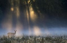 GOOD MORNING  -    George Dian Balan took a picture during the red deer annual rutting season. A doe in light filtered by the early morning mist, like a childhood fairytale.