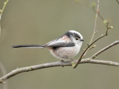 Long-tailed tit - a flock at large in Crail this winter