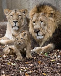Photo about Lion family, male female and baby. Image of nature, lion, cute - 10879653 Beautiful Lion, Animals Beautiful, Lion Family, Family Family, Lion Couple, Lion Photography, Gato Grande, Lion And Lioness, Big Cats