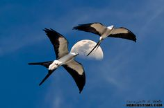 Two Swallow Tailed Kites flying under the moon at Riverbend Park in Jupiter, FL   by HDRcustoms.com