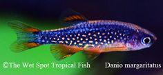 Celestial Pearl Danio - Celestichthys margaritatus