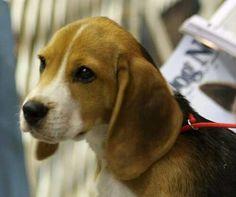 Adorable little beagle face