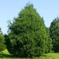 Eastern Red Cedar - Privacy Tree as well as a fast growing tree.