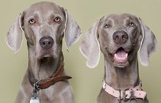 Weimaraners....Love how one looks like he could care less and the other is just smiling away haha