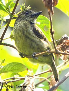Speckled Tinkerbird, African barbet family There are 42 species ranging from the type genus Lybius of forest interior to the tinkerbirds (Pogoniulus) of forest and scrubland. They are found throughout sub-Saharan Africa, with the exception of the far south-west of South Africa.