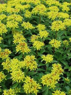 Sedum Kamtschaticum (Stonecrop)  Sedum Kamtschaticum is a drought-tolerant stonecrop with clusters of star-shaped yellow flowers start in late spring and mature to bronze. Pleasing foliage all season - scalloped with glossy deep green fleshy, spoon-shaped leaves. Forms a dense mat that is tinged with red tones in autumn. One very tough character!  Good for containers and ground cover and tolerates foot traffic. Rabbit resistant.  Learn more at: https://www.bluestoneperennials.com/SEKA.html