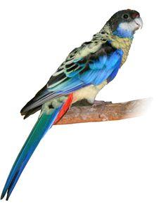 Endangered Northern Rosella Parrot