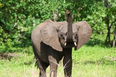 Chobe National Park is home to the biggest population of elephants. Experience this beautiful park in multiple ways and see the great variety in wildlife. Chobe National Park, National Parks, Beautiful Park, Surfing, Wildlife, Elephant, Africa, World, Animals