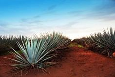 Find agave field stock images in HD and millions of other royalty-free stock photos, illustrations and vectors in the Shutterstock collection. Agave Azul, Plant Species, Travel Activities, Baja California, Whale Watching, Small Trees, Large Flowers, Kayaking, Stock Photos