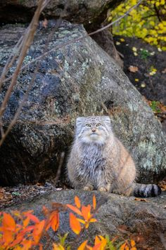 I ❤ big cats . . . Manul (~By mellting)