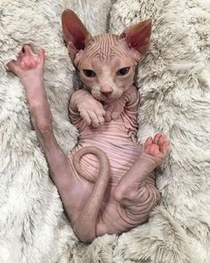 O gato Sphynx não é totalmente sem pêlo, mas tem uma cobertura de pêssego, que é suave e quente ao toque. Descubra mais sobre o gato Sphynx aqui.