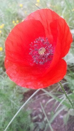 UpRo The blog: Macul croșetat Mac, Plants, Blog, Blogging, Plant, Planets, Poppy