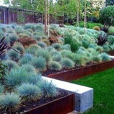 Blue Fescue is a perennial grass that grows in fat compact tufts. Its ice blue color is striking and its shaped like a hedgehog. Perfect in a cactus garden, edging a bed of cut flowers, or massed as - My Gardening Space Hillside Landscaping, Landscaping With Rocks, Modern Landscaping, Front Yard Landscaping, Landscaping Ideas, Landscaping Company, Landscaping Software, Inexpensive Landscaping, Natural Landscaping