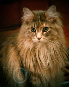 Fiona - Queen Maine Coon Cat. $20.00, via Etsy.