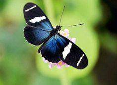 Categorie: Vlinders Blauw zwarte vlinder  Prijs per kaart vanaf: € 2,65 excl. porto Wenskaart is geheel naar eigen wens aan te passen, tekst, figuur of foto. www.wenskaartenshop.droomcreaties.nl
