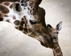 Giraffe cub Katja leans on its mother at the Opelzoo in Kronberg, Germany, on January 7, 2014. The animal belongs to the endangered subspecies Rothschild's giraffe and was born on January 2. (AP Photo/dpa, Frank Rumpenhorst)