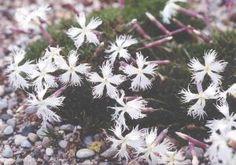 Dianthus x 'White Fringe'