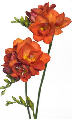 freesia 'Red Beauty'