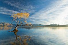 Iconic Willow tree, Lake Wanaka, South Island, NZ : New Zealand : Sisson