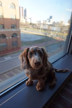 This is Boh, he is a 5 month old chocolate and tan dapple long haired mini dachshund. Weenie Dogs, Dachshund Puppies, Doggies, Dachshunds, Mini Long Haired Dachshund, Mini Dachshund, Cute Dogs Breeds, Dog Breeds, Cute Eyes