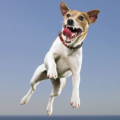 Jack Russell Terrier - Best Dogs for Runners and Active People ...
