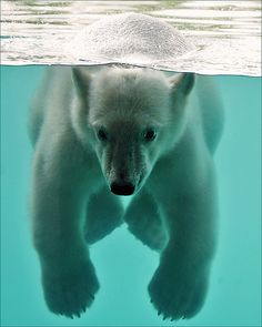 Swimming Polar Bear cub photographed by Martien Uiterweerd