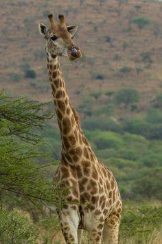Giraffe by geoffoddie