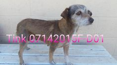 ***SUPER SUPER URGENT!!!*** - PLEASE SAVE TINK!! - EU DATE: 7/21/2015 -- Tink (07142015f-D01) Breed:Terrier (mix breed) Age: Adult Gender: Female Size: Small Special needs: hasShots, Shelter Information: Delano Animal Shelter 1525 Mettler Avenue  Delano, CA Shelter dog ID: 07142015f-d01 Contacts: Phone: 661-721-3377 Name: Delano Animal Control email: SHELTER661@GMAIL.COM  Read more at http://www.dogsindanger.com/dog/1436903764707#AVACJ0xufM8mwYdp.99