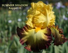 Iris SUMMER SHADOW by Keith Keppel, bright yellow with dark rose bands, tall bearded iris available at Stout Gardens.com.