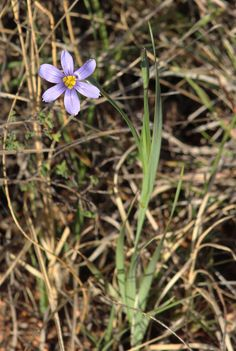 Roadside Dotted Blue-eyed Grass is a tiny iris.