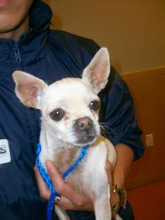 Animal A98643   Cream chihuahua, female Found on 11/25 at El Camino Real / Mathilda Ave 94086