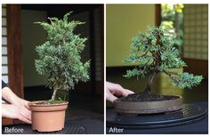 "In our new ""Getting started"" course you'll create your own Bonsai tree in 5 well-explained steps. No theory, this is about doing it yourself! Watch a free lesson at https://www.bonsaiempire.com/courses/getting-started"