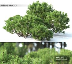 Pine mountain number 2 Modele Sketchup, Mugo Pine, Delonix Regia, Florence Art, Restoration Hardware Bedding, Pine Mountain, Laundry Decor, Base Image, Black Walls
