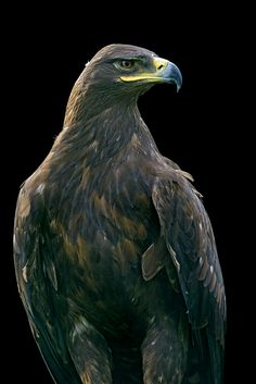 Golden eagle looking at the side... | Flickr - Photo Sharing!